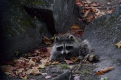 Raccoon Animal Picture
