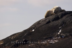 Resting Polar Bear Churchill Manitoba