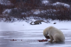Ringed Seal Polar Bear Meal Frozen Lake Hudson Bay Manitoba