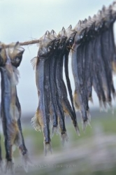 Dried Fish Newfoundland