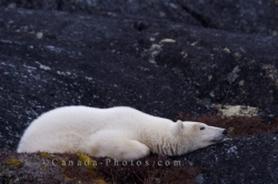 Sleeping Polar Bear Hudson Bay Churchill Manitoba