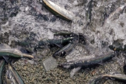 Capelin Spawning Season Newfoundland Labrador