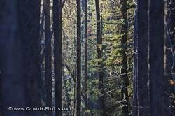 Sunlight Winter Forest Banff National Park