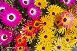 Vibrant Colored Flowers Livingstone Daisies Picture