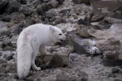 White Arctic Fox Animal Picture