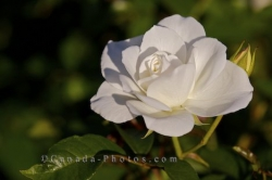 White Rose Flower Picture Montreal Quebec