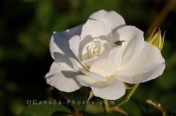 White Rose Insect Montreal Botanical Garden Quebec