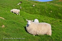 White Sheep Avalon Peninsula