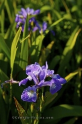 Wild Iris Field Cape St Marys Ecological Reserve Newfoundland