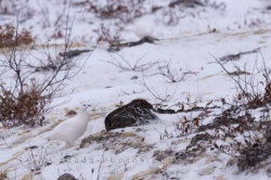 Winter Willow Ptarmigan Bird Picture