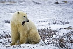 Yawning Polar Bear Picture