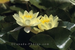 Yellow Water Roses Pond Ontario