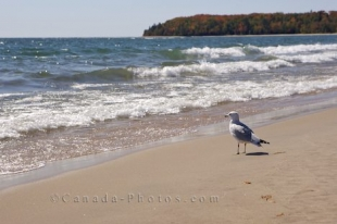 A single seagull stands along the beach at Pancake Bay along Lake Superior in Ontario taking in the scenery.