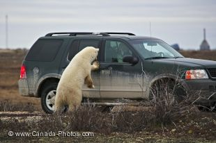 A Polar Bear decides that it is his turn to watch this car and see what lurks inside while they pass by in the Churchill Wildlife Management Area in Churchill, Manitoba.