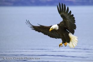 An adult bald eagle with spread wings coming down to the water surface to catch a fish.