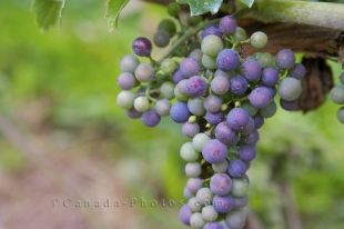 Each grape ripens as they grow in their bunch hanging from a vine at the Domaine de Grand Pre vineyard in Nova Scotia, Canada.