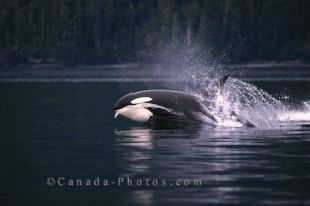 Killer Whale porpoising in Johnstone Strait off of the coast of Vancouver Island, British Columbia, Canada is a magnificent sight for both locals and tourists to see.