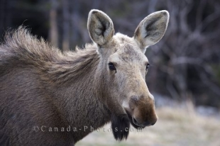A moose does not seemed bothered by the fact that we have captured a close up picture of him as he takes a break from grazing in the town of St Lunaire-Griquet, Newfoundland.