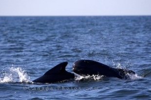 During a whale watching excursion, Long-finned Pilot Whales are seen swimming in the Pleasant Bay in the Gulf of St Lawrence.