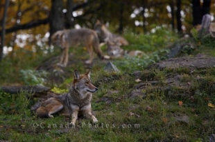 A pack of Coyotes or Prairie Wolves linger together in the wilderness of Parc Omega in Montebello, Quebec giving visitors a chance to take a picture.