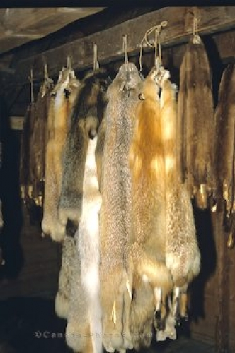 Photo: Animal Pelts Fur Trading Manitoba
