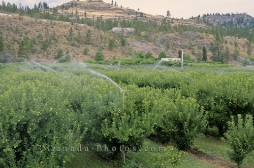 Photo: Apple Trees Okanagan Valley Fruits