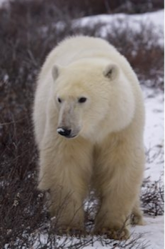 Photo: Approaching Polar Bear Churchill Manitoba