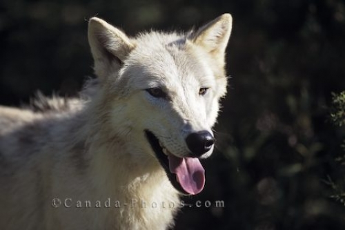 Photo: Arctic Wolf