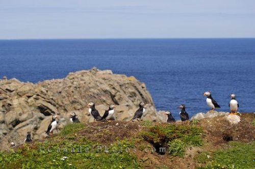 Photo: Atlantic Puffins Colony Coastal Shores Bird Island Newfoundland