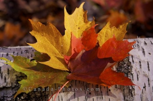 Photo: Autumn Colored Maple Leaves Rock Lake Algonquin Provincial Park