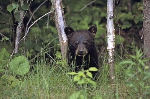Photo: Black Bear Baby