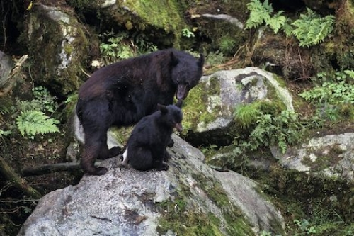 Photo: Black Bear Family