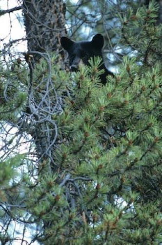 Photo: Photo Of Little Black Bear Cub