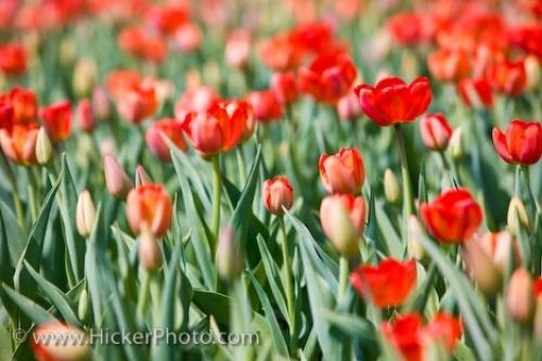 Photo: Blossoming Tulip Gardens Parliament Buildings Ottawa City
