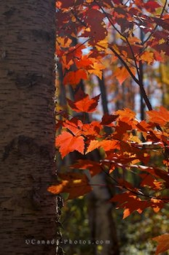Photo: Bright Red Forest Leaves Rock Lake Ontario