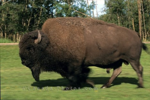Photo: Buffalo Bison Elk Island National Park