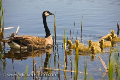 Photo: Canada Goose With Goslings Point Pelee National Park