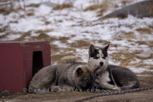 Photo: Canadian Eskimo Dog Puppies