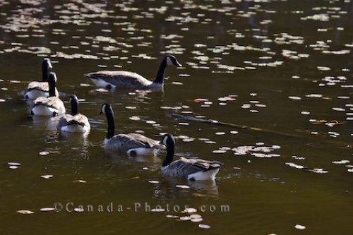 Photo: Canadian Geese Picture