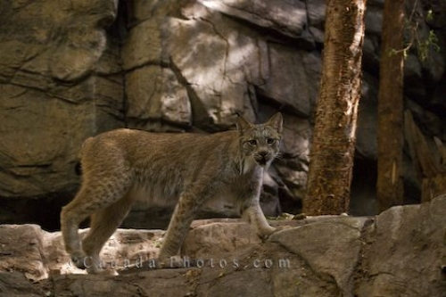 Photo: Canadian Lynx Large Cat Picture