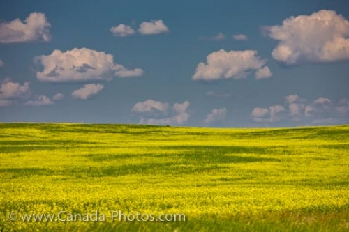 Photo: Canola Field Summer Clouds Qu Appelle Valley Saskatchewan