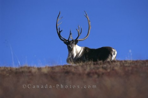 Photo: Caribou Reindeer Antlers