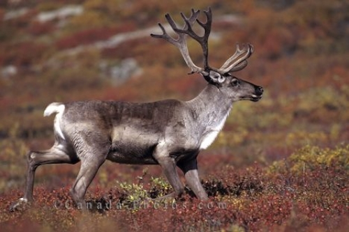 Photo: Caribou Stag Denali National Park