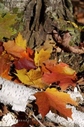 Photo: Colorful Fall Forest Leaves Algonquin Provincial Park