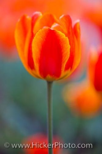 Photo: Colorful Tulips Niagara On The Lake Ontario Canada