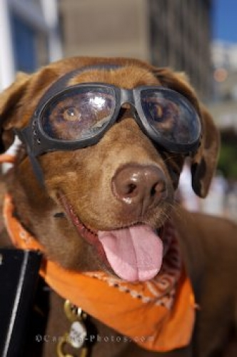 Photo: Cool Chocolate Lab Dog Picture Motorcycle Riding