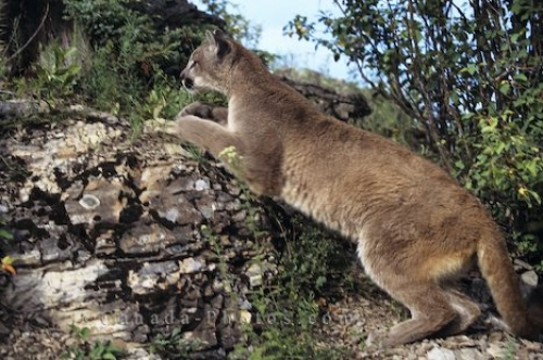 Photo: Cougar Hunting Vancouver Island