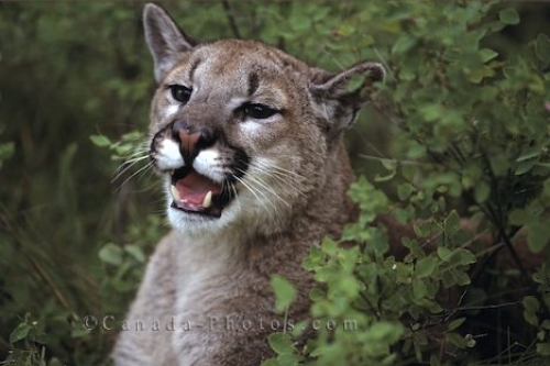 Photo: Cougar Mountain Lion Vancouver Island