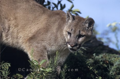Photo: Cougar Animal Picture