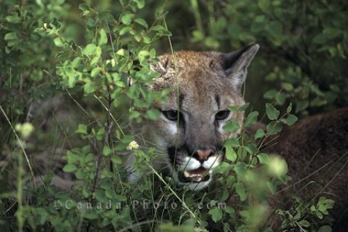 Photo: Cougar Vancouver Island